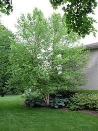 ornamental tree a key element in landscape design landscapeadvisor