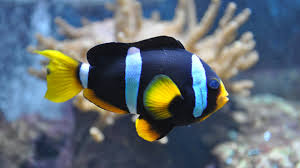 clownfish marine ornamental fish and beyond
