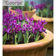 Irises How To Plant Grow by How To Plant And Grow Iris Sarah Raven
