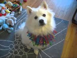 american eskimo dog japanese spitz difference indy the american eskimo dog does tricks for miranda youtube