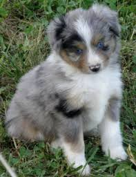 australian shepherd breeders near me texas miniature toy aussie australian shepherds puppies for sale