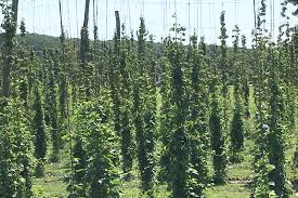 Low Trellis Hops A Giant Leap For Craft Beer With Hudson Valley Hops