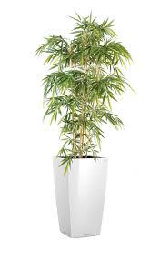 plante bureau bambou 120 à 180 cm plantes de bureau salle de réunion kollori com