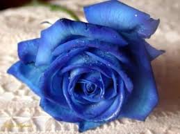 blue roses for sale blue oh my goodness products i