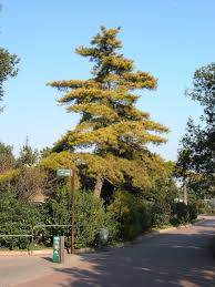 pinus radiata wikipedia