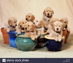 golden retriever puppies sitting in plant pots stock photo