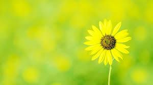 yellow flower wallpaper 1108 1920x1080 px hdwallsource com