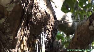 tree resin