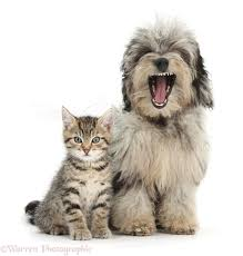 pets cute tabby kitten with yawning daxiedoodle pup photo wp38222