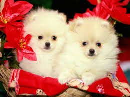 apple mac desktop wallpapers hd christmas holiday dogs are real