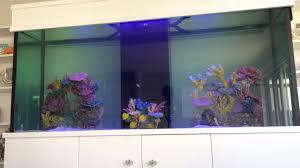 Home Aquarium by Schooling Yellow Tangs In Home Aquarium Youtube