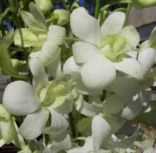 white dendrobium orchids dendrobium orchid white wholesale flowers for weddings and