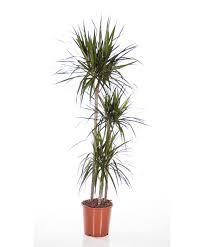 Large Indoor Plants Buy Large Indoor Plants Online Bakker Com