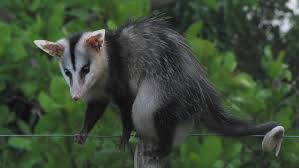 gracile opossum google search north american mythology