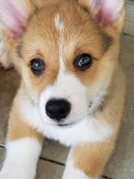 Corgi Puppy Meme - heart melting cutest little adorable corgi puppy 4 pics