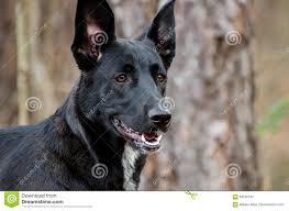 4 types of belgian sheepdogs german shepherd belgian malinois mixed breed stock photo image