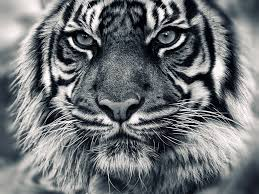tiger wallpaper hd black and white wallpapers hd quality