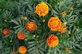 nasturtium how to plant grow and care for nasturiums the old