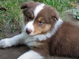 australian shepherd fur the 196 best images about fur babies on pinterest poodles