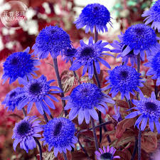 Echinacea Flower Aliexpress Com Buy Bellfarm Echinacea Dark Blue Perennial Flower