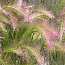 75 best ornamental grasses images on gardening