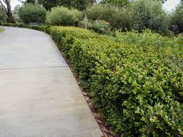 native plants of western australia australian native hedges gardening with angus