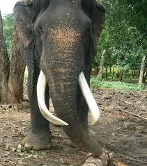 sri lankan elephant wikipedia