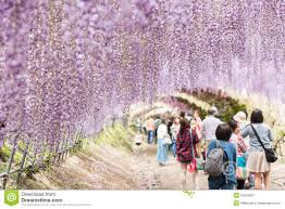 wisteria tunnel the fantastical world full of wisteria flowers