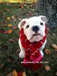 237 best funny bulldogs u0027 costumes images on pinterest english
