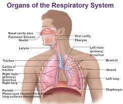 What Portion Of The Brain Controls Respiration The Respiratory System