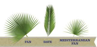 palms for palm sunday fresh palms