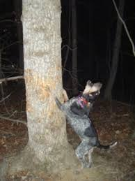 bluetick coonhound fun facts how to cure separation anxiety in puppies bluetick coonhounds