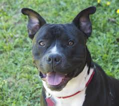 american pitbull terrier 9 months old magoo rocket dog rescue