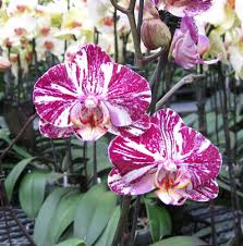 phalaenopsis marble orchid flower delivery yelp