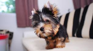 before and after yorkshire terriers short hair cut the yorkshire terrier dog breed a complete guide to the yorkie