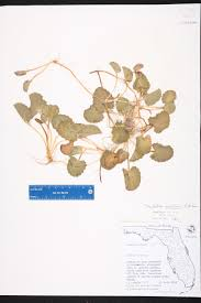 definition of native plants centella asiatica species page isb atlas of florida plants