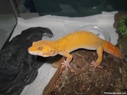 leopard gecko lighting at night leopard gecko care sheet onlinegeckos com gecko breeder
