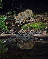 Coyote In My Backyard Coyote Sightings In The Charlotte Area Are On The Rise Charlotte