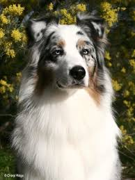australian shepherd upkeep 72 best shih tzus schnauzers u0026 shepherds images on pinterest