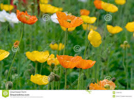 opium poppy flower stock photos image 5166163