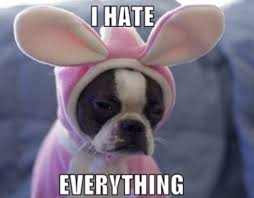 Boston Terrier Meme - photo boston terrier bunny hates everything ibostonterrier com