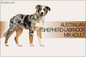 australian shepherd and beagle mix fascinating facts about the australian shepherd labrador mix breed