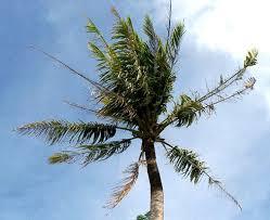 Viroid Diseases In Plants - fact sheet coconut tinangaja 198