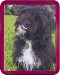 affenpinscher puppies florida shelby adopted dog north palm beach fl shih tzu