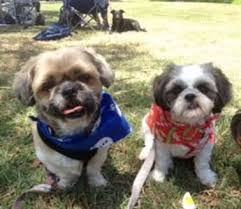 Why Do Dogs Lick The Sofa Shih Tzu Excessive Licking Issues