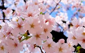 cherry flowers wallpapers beautiful cherry blossoms wallpapers 2560x1600 1680529
