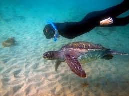 California snorkeling images Snorkeling with sea turtles picture of everyday california la jpg
