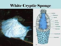 Azure Vase Sponge Facts Phylum Porifera Yellow Barrel Sponge Pink Lumpy Sponge Ppt