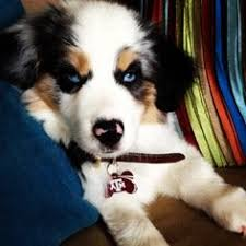 australian shepherd overbite jer i u0027m still waiting for my puppy to get here in the mail