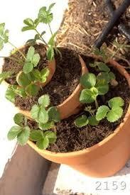 Diy Strawberry Planter by Diy Strawberry Planter From 5 Gallon Bucket Our Garden